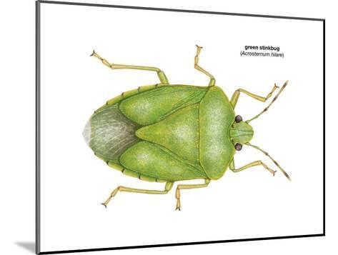 Green Stinkbug (Acrosternum Hilare), Insects-Encyclopaedia Britannica-Mounted Art Print