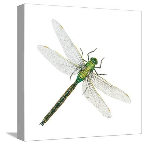 Green Darner - Female (Anax Junius), Dragonfly, Insects-Encyclopaedia Britannica-Stretched Canvas Print