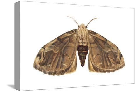 Tussock Moth (Hemerocampa Leucostigma), Insects-Encyclopaedia Britannica-Stretched Canvas Print