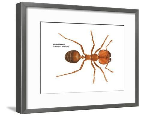 Tropical Fire Ant (Solenopsis Geminata), Insects-Encyclopaedia Britannica-Framed Art Print
