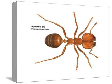 Tropical Fire Ant (Solenopsis Geminata), Insects-Encyclopaedia Britannica-Stretched Canvas Print