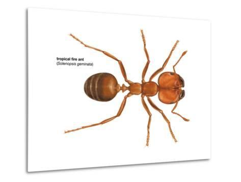 Tropical Fire Ant (Solenopsis Geminata), Insects-Encyclopaedia Britannica-Metal Print