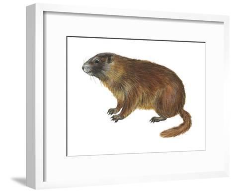 Yellow-Bellied Marmot (Marmota Flaviventris), Mammals-Encyclopaedia Britannica-Framed Art Print