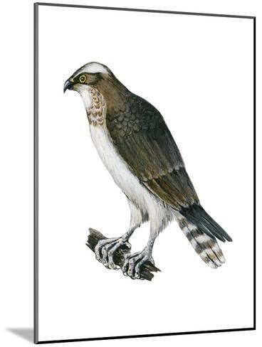 Osprey (Pandion Haliaetus), Fish Hawk, Birds-Encyclopaedia Britannica-Mounted Art Print