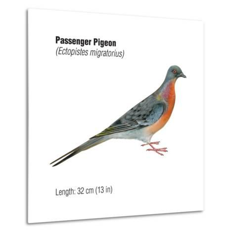 Passenger Pigeon (Ectopistes Migratorius), Birds-Encyclopaedia Britannica-Metal Print