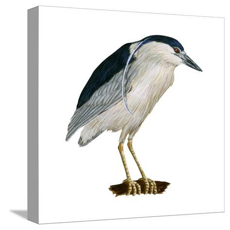 Black-Crowned Night Heron (Nycticorax Nycticorax), Birds-Encyclopaedia Britannica-Stretched Canvas Print