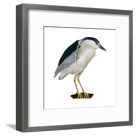 Black-Crowned Night Heron (Nycticorax Nycticorax), Birds-Encyclopaedia Britannica-Framed Art Print