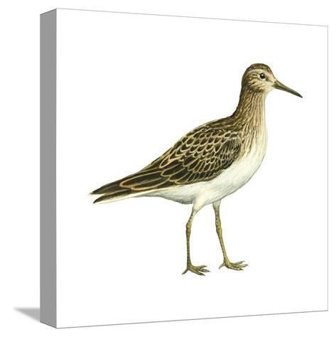 Pectoral Sandpiper (Calidris Melanotos), Birds-Encyclopaedia Britannica-Stretched Canvas Print