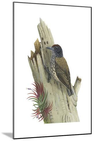 White-Scaled Piculet (Picumnus Albosquamatus), Birds-Encyclopaedia Britannica-Mounted Art Print
