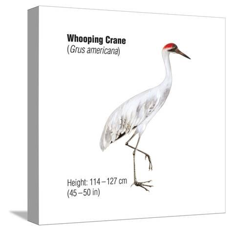 Whooping Crane (Grus Americana), Birds-Encyclopaedia Britannica-Stretched Canvas Print