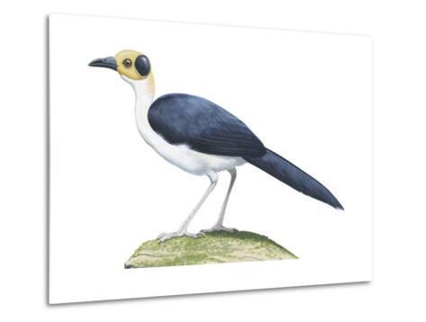 White-Necked Rockfowl (Picathartes Gymnocephalus), Birds-Encyclopaedia Britannica-Metal Print
