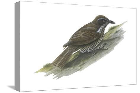 Philippine Creeper (Rhabdornis Inornatus), Birds-Encyclopaedia Britannica-Stretched Canvas Print
