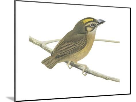 White-Throated Spadebill (Platyrinchus Mystaceus), Birds-Encyclopaedia Britannica-Mounted Art Print