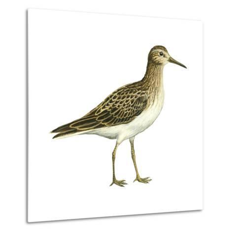 Pectoral Sandpiper (Calidris Melanotos), Birds-Encyclopaedia Britannica-Metal Print