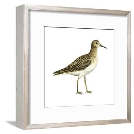 Pectoral Sandpiper (Calidris Melanotos), Birds-Encyclopaedia Britannica-Framed Art Print