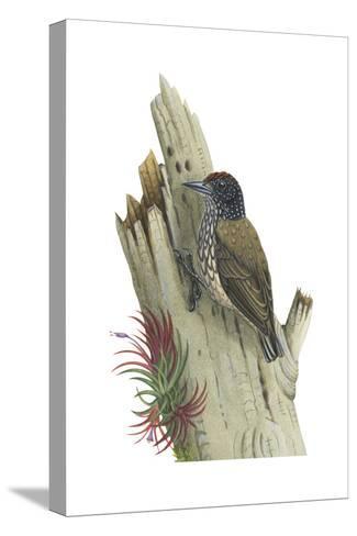 White-Scaled Piculet (Picumnus Albosquamatus), Birds-Encyclopaedia Britannica-Stretched Canvas Print