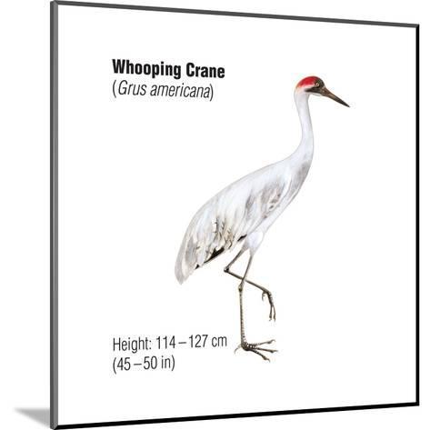 Whooping Crane (Grus Americana), Birds-Encyclopaedia Britannica-Mounted Art Print