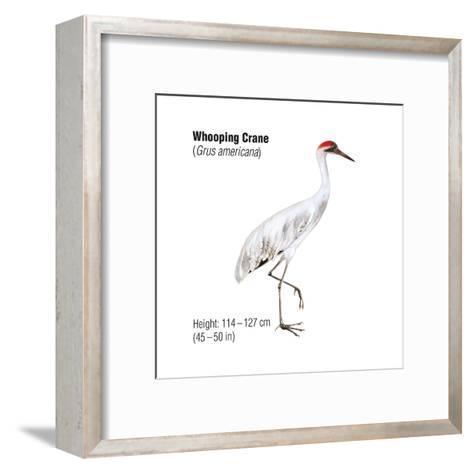 Whooping Crane (Grus Americana), Birds-Encyclopaedia Britannica-Framed Art Print