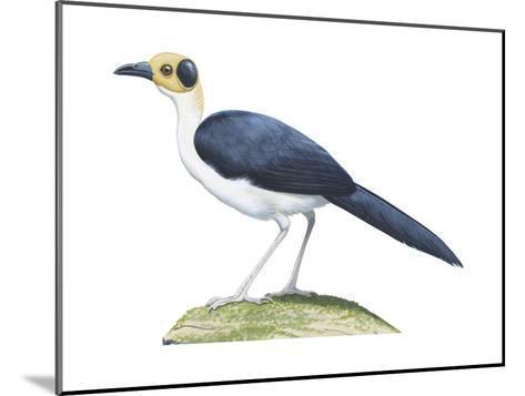 White-Necked Rockfowl (Picathartes Gymnocephalus), Birds-Encyclopaedia Britannica-Mounted Art Print