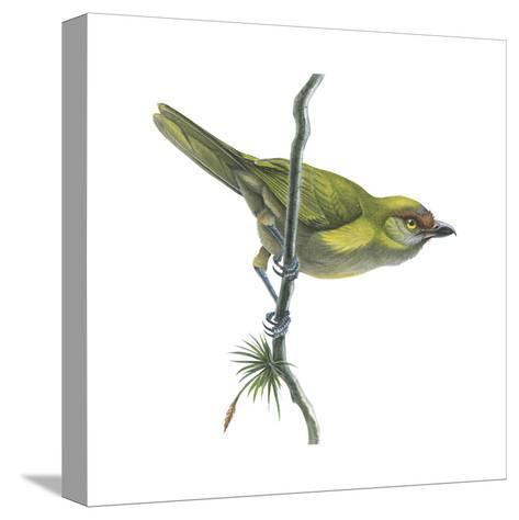Peppershrike (Cyclarhis Nigrirostris), Birds-Encyclopaedia Britannica-Stretched Canvas Print