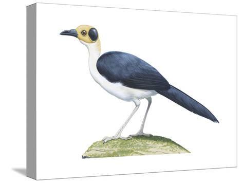 White-Necked Rockfowl (Picathartes Gymnocephalus), Birds-Encyclopaedia Britannica-Stretched Canvas Print
