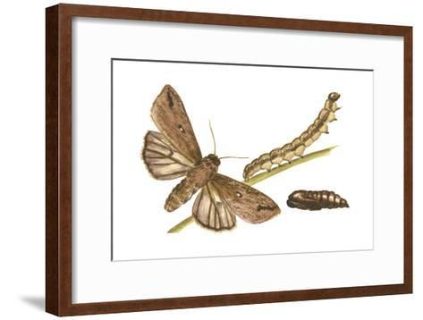 Armyworm Moth, Caterpillar, and Pupae (Mythimna Unipuncta), Insects-Encyclopaedia Britannica-Framed Art Print