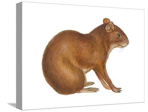Agouti (Dasyprocta Aguti), Mammals-Encyclopaedia Britannica-Stretched Canvas Print