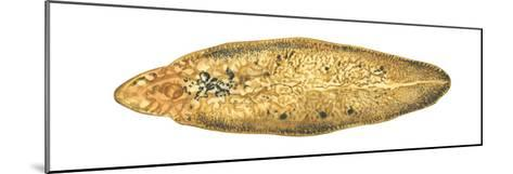 Liver Fluke (Fasciola Hepatica), Platyhelminths, Invertebrates-Encyclopaedia Britannica-Mounted Art Print