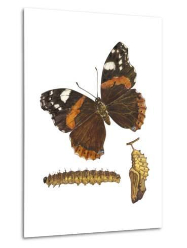 Red Admiral Butterfly, Caterpillar, and Pupae (Vanessa Atalanta), Insects-Encyclopaedia Britannica-Metal Print