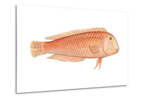 Razorfish (Xyrichthys Psittacus), Fishes-Encyclopaedia Britannica-Metal Print