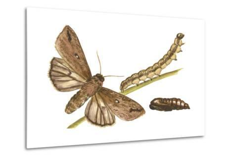 Armyworm Moth, Caterpillar, and Pupae (Mythimna Unipuncta), Insects-Encyclopaedia Britannica-Metal Print