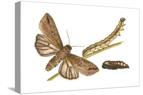 Armyworm Moth, Caterpillar, and Pupae (Mythimna Unipuncta), Insects-Encyclopaedia Britannica-Stretched Canvas Print