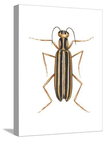 Striped Blister Beetle (Epicauta Vittata), Insects-Encyclopaedia Britannica-Stretched Canvas Print