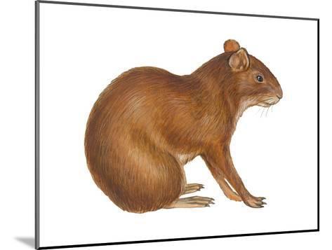 Agouti (Dasyprocta Aguti), Mammals-Encyclopaedia Britannica-Mounted Art Print