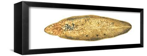 Liver Fluke (Fasciola Hepatica), Platyhelminths, Invertebrates-Encyclopaedia Britannica-Framed Canvas Print