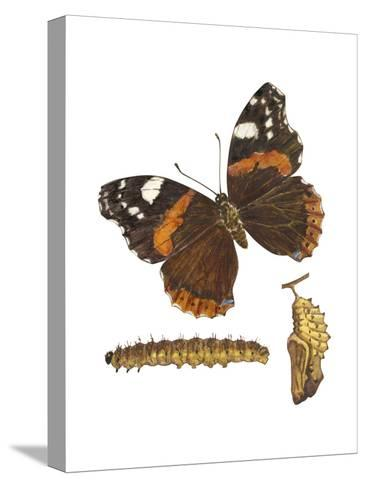 Red Admiral Butterfly, Caterpillar, and Pupae (Vanessa Atalanta), Insects-Encyclopaedia Britannica-Stretched Canvas Print