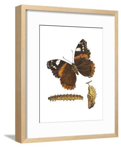 Red Admiral Butterfly, Caterpillar, and Pupae (Vanessa Atalanta), Insects-Encyclopaedia Britannica-Framed Art Print