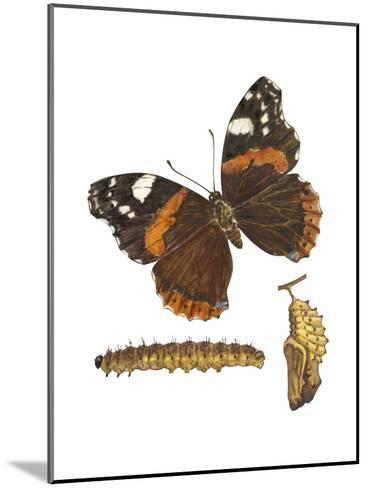 Red Admiral Butterfly, Caterpillar, and Pupae (Vanessa Atalanta), Insects-Encyclopaedia Britannica-Mounted Art Print