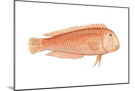 Razorfish (Xyrichthys Psittacus), Fishes-Encyclopaedia Britannica-Mounted Art Print