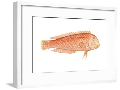 Razorfish (Xyrichthys Psittacus), Fishes-Encyclopaedia Britannica-Framed Art Print
