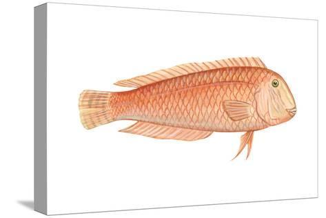 Razorfish (Xyrichthys Psittacus), Fishes-Encyclopaedia Britannica-Stretched Canvas Print