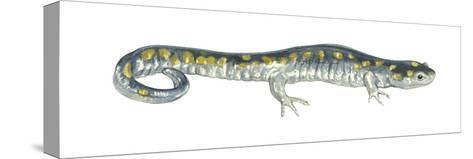 Spotted Salamander (Ambystoma Maculatum), Amphibians-Encyclopaedia Britannica-Stretched Canvas Print