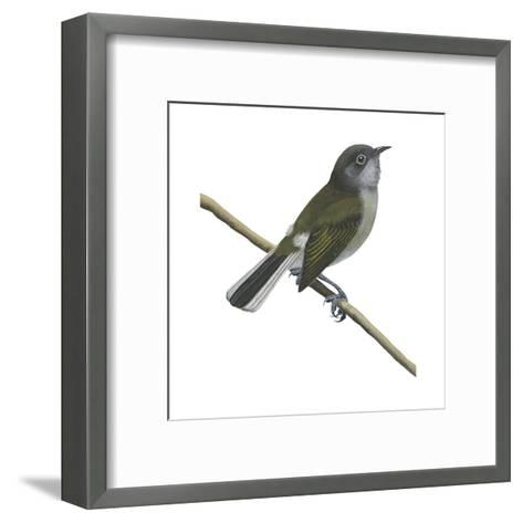 Cassin's Honey Guide (Prodotiscus Insignis), Birds-Encyclopaedia Britannica-Framed Art Print