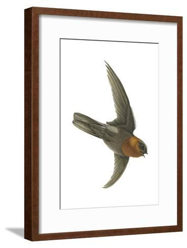 Chestnut-Collared Swift (Cypseloides Rutilus), Birds-Encyclopaedia Britannica-Framed Art Print