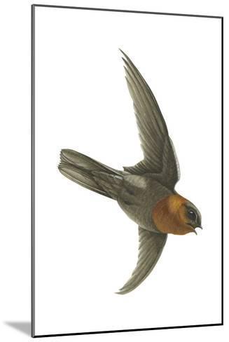 Chestnut-Collared Swift (Cypseloides Rutilus), Birds-Encyclopaedia Britannica-Mounted Art Print