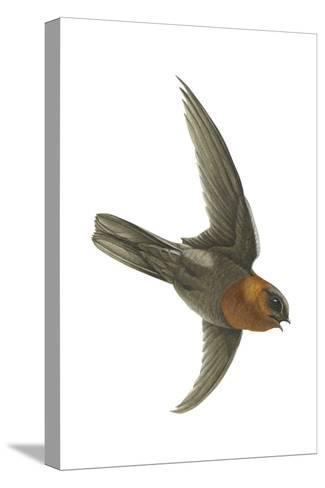 Chestnut-Collared Swift (Cypseloides Rutilus), Birds-Encyclopaedia Britannica-Stretched Canvas Print