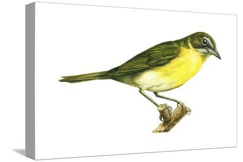 Yellow-Breasted Chat (Icteria Virens), Birds-Encyclopaedia Britannica-Stretched Canvas Print