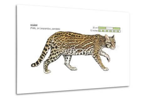 Ocelot (Felis or Lepardus, Pardalis), Cat, Mammals-Encyclopaedia Britannica-Metal Print