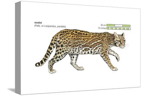 Ocelot (Felis or Lepardus, Pardalis), Cat, Mammals-Encyclopaedia Britannica-Stretched Canvas Print