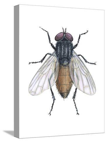 Housefly (Musca Domestica), Insects-Encyclopaedia Britannica-Stretched Canvas Print